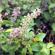 Indian scientists decode Tulsi plant genome
