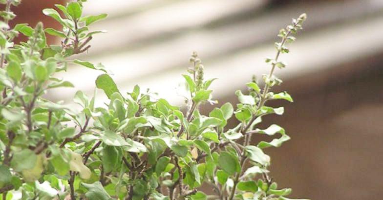 tulsi-plant.jpg.image.784