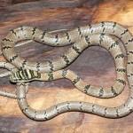 snake-_jpg_2784829f